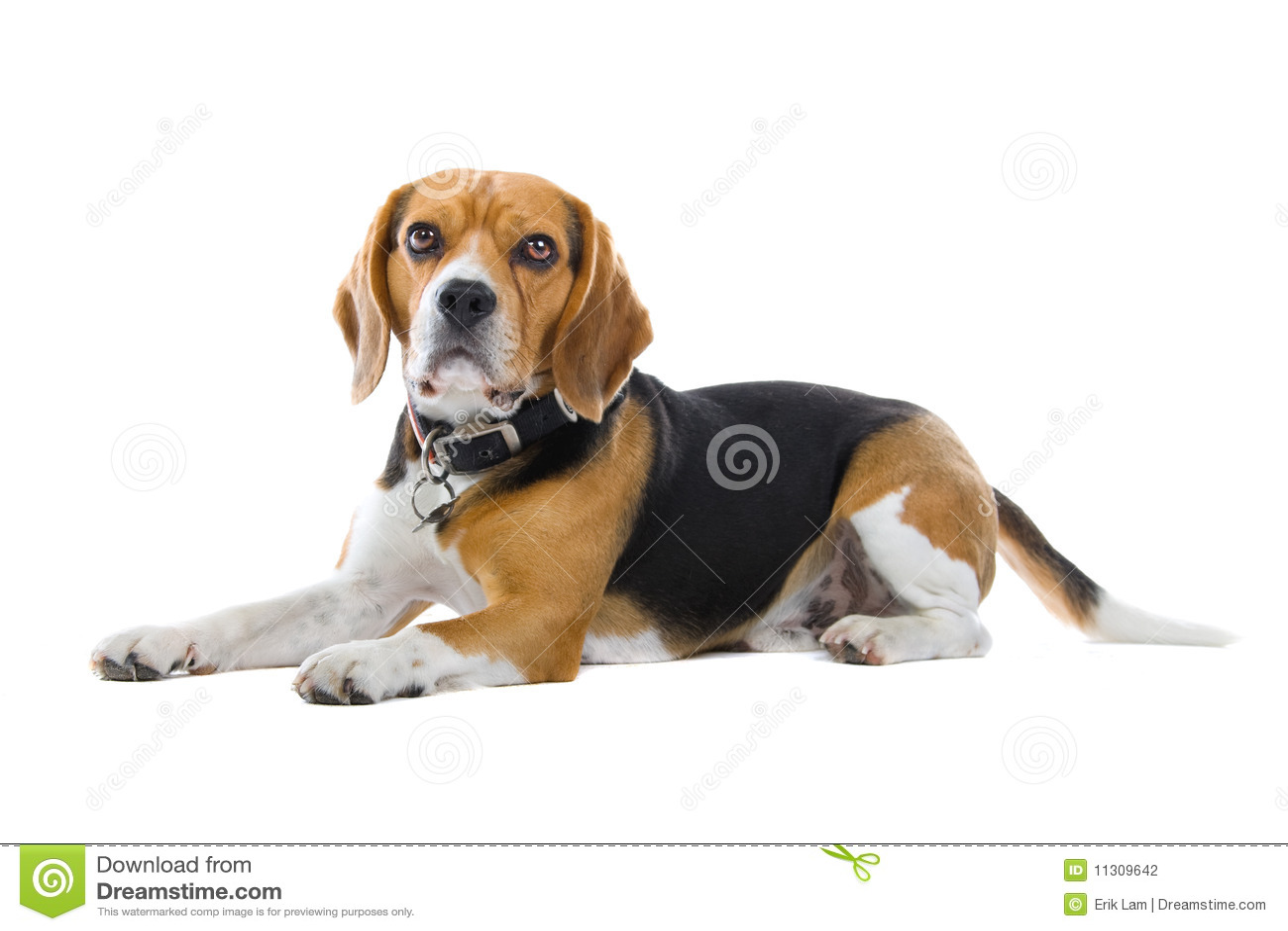 Dachshundjagdhund