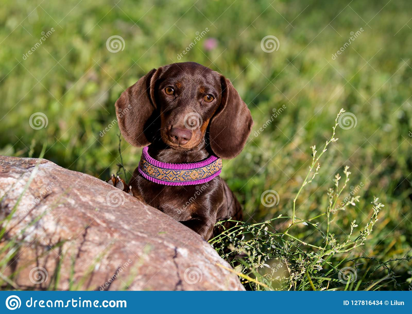 Brobn Dachshunds puppy the background of a green meadow