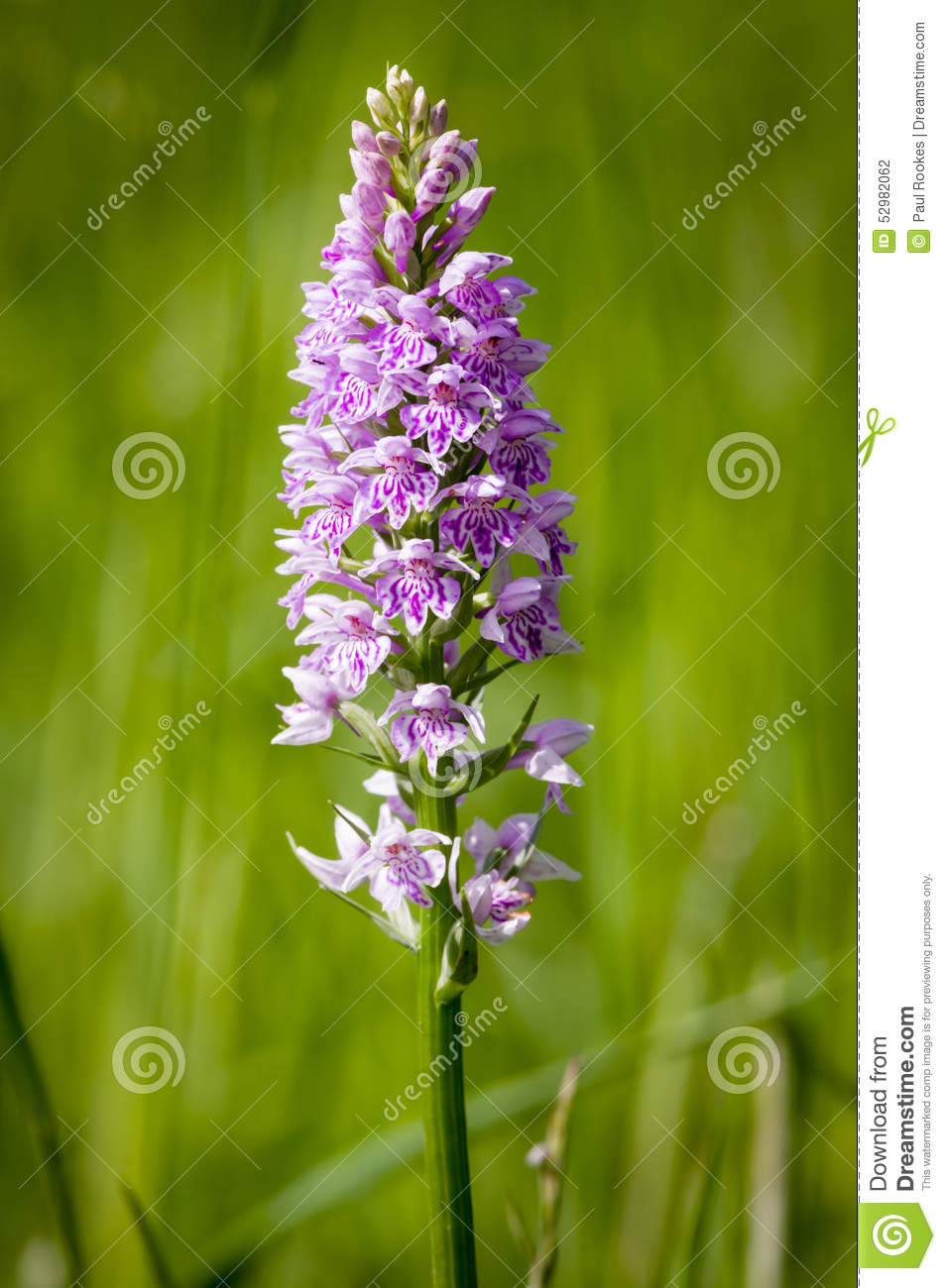 Common Orchid Species