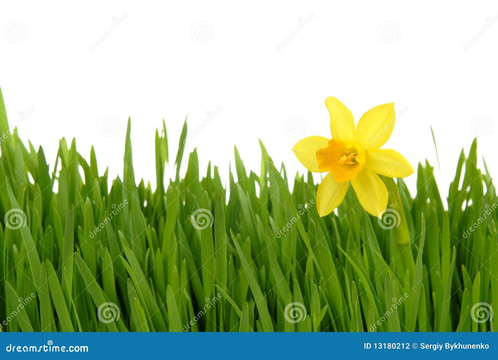 Daffodil χλόη πράσινη