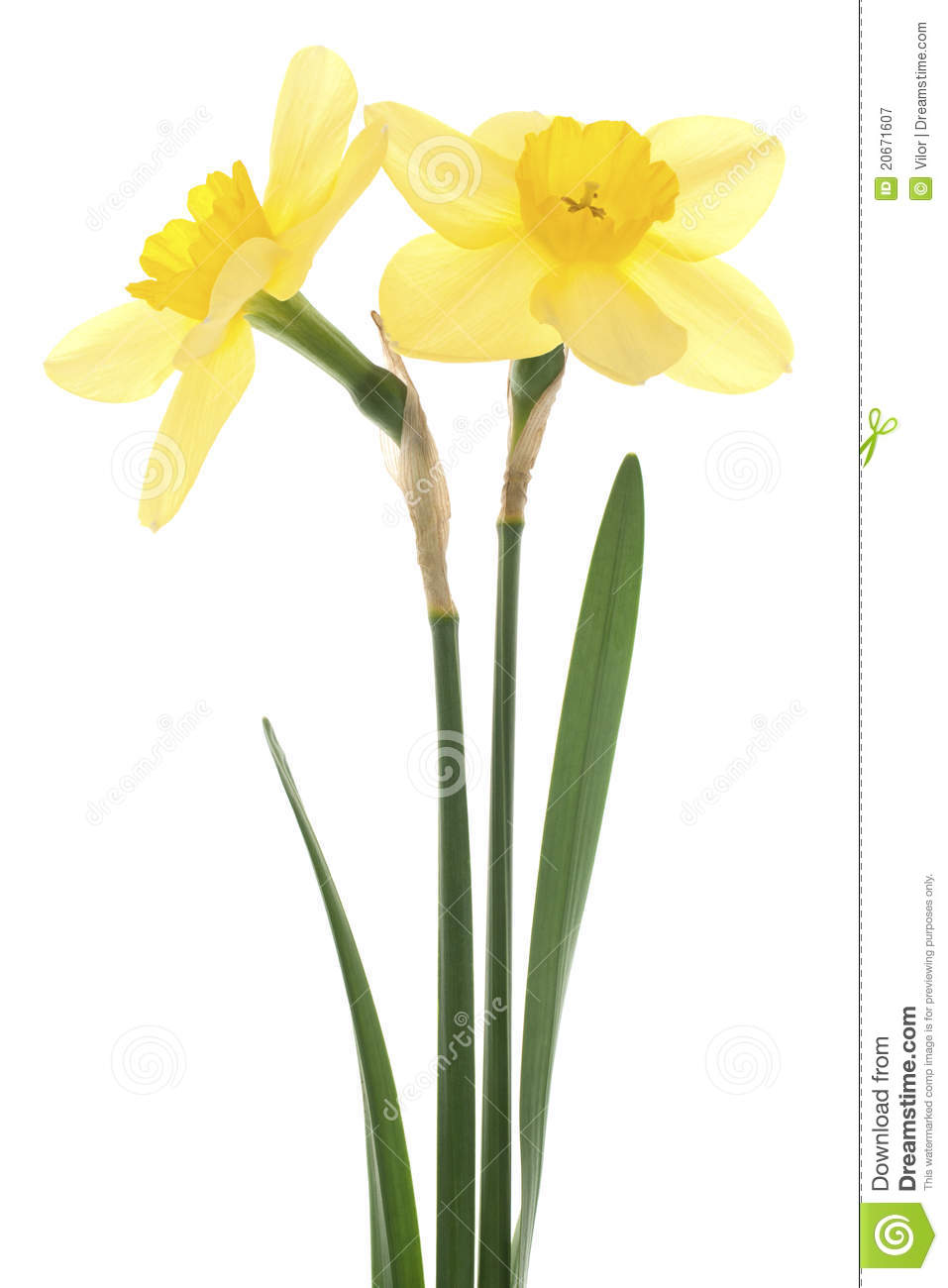 Studio Shot of Yellow Colored Daffodils Isolated on White Background ...