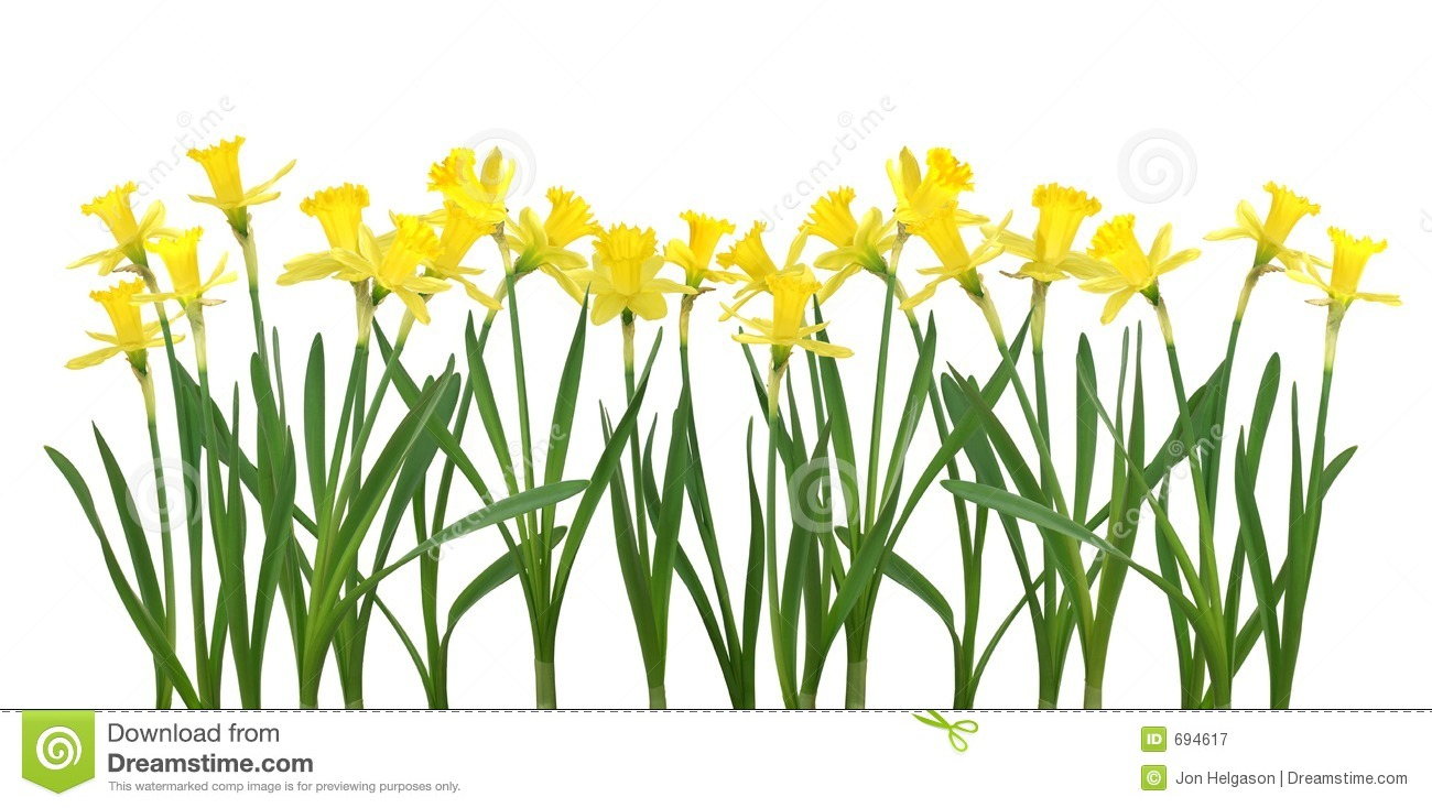 Daffodil Clip Art No Background daffodil banner royalty free stock ...