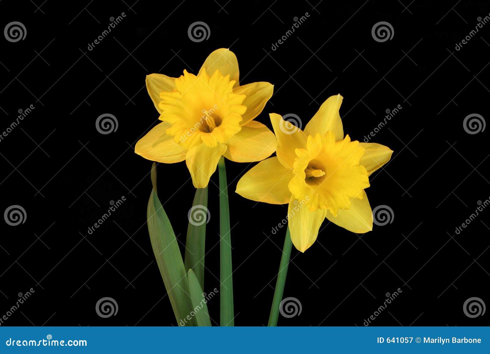 Daffodil Beauties