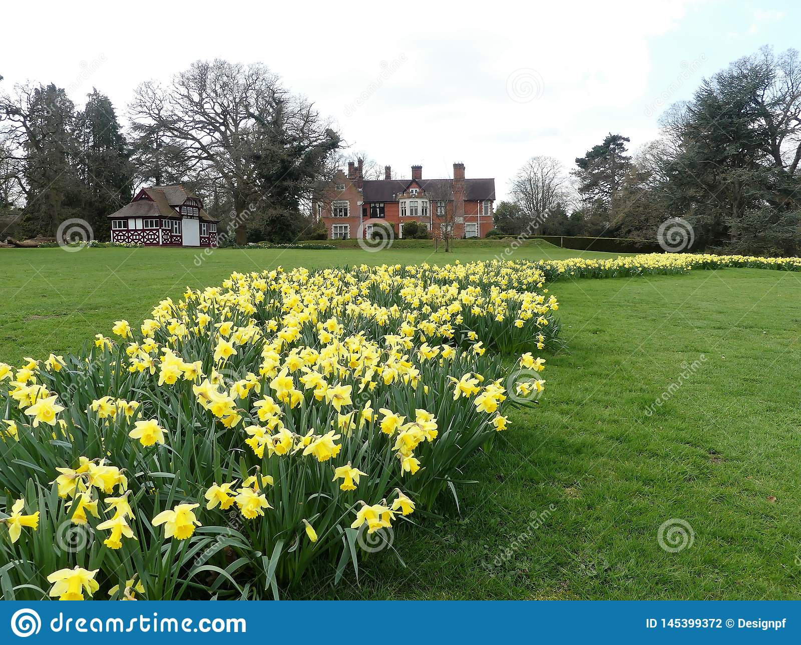 Daffodil beds at the Chorleywood House Estate, Hertfordshire