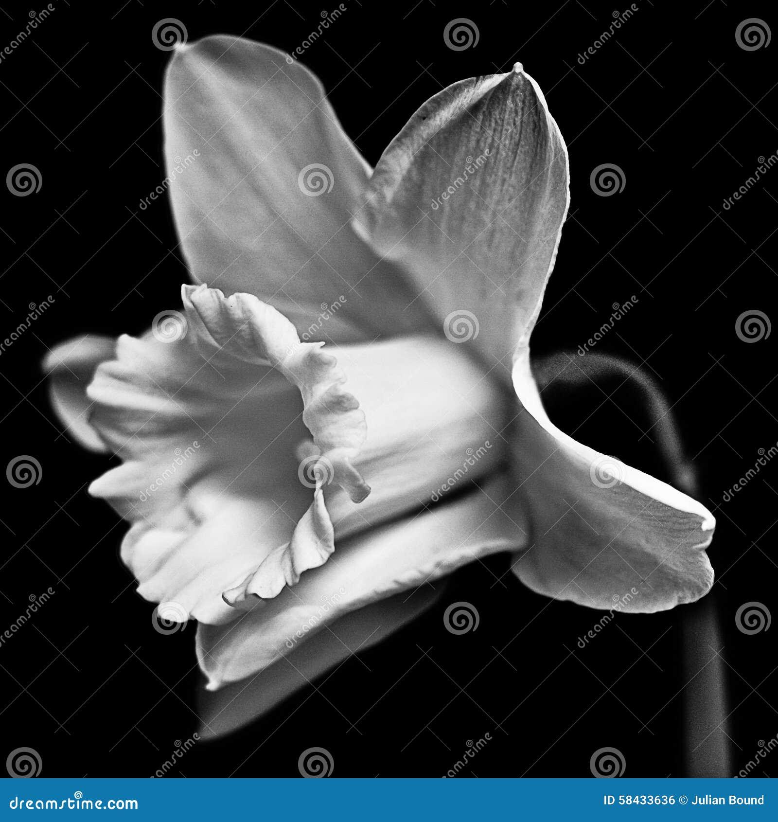 Daffodil In Black And White Tones Stock Photo Image Of Stamen