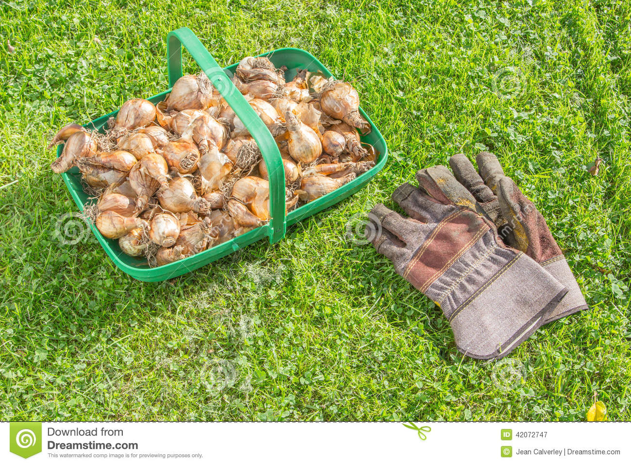 When how to plant daffodil bulbs - Royalty Free Stock Photo Download Daffodil Bulbs Ready To Plant