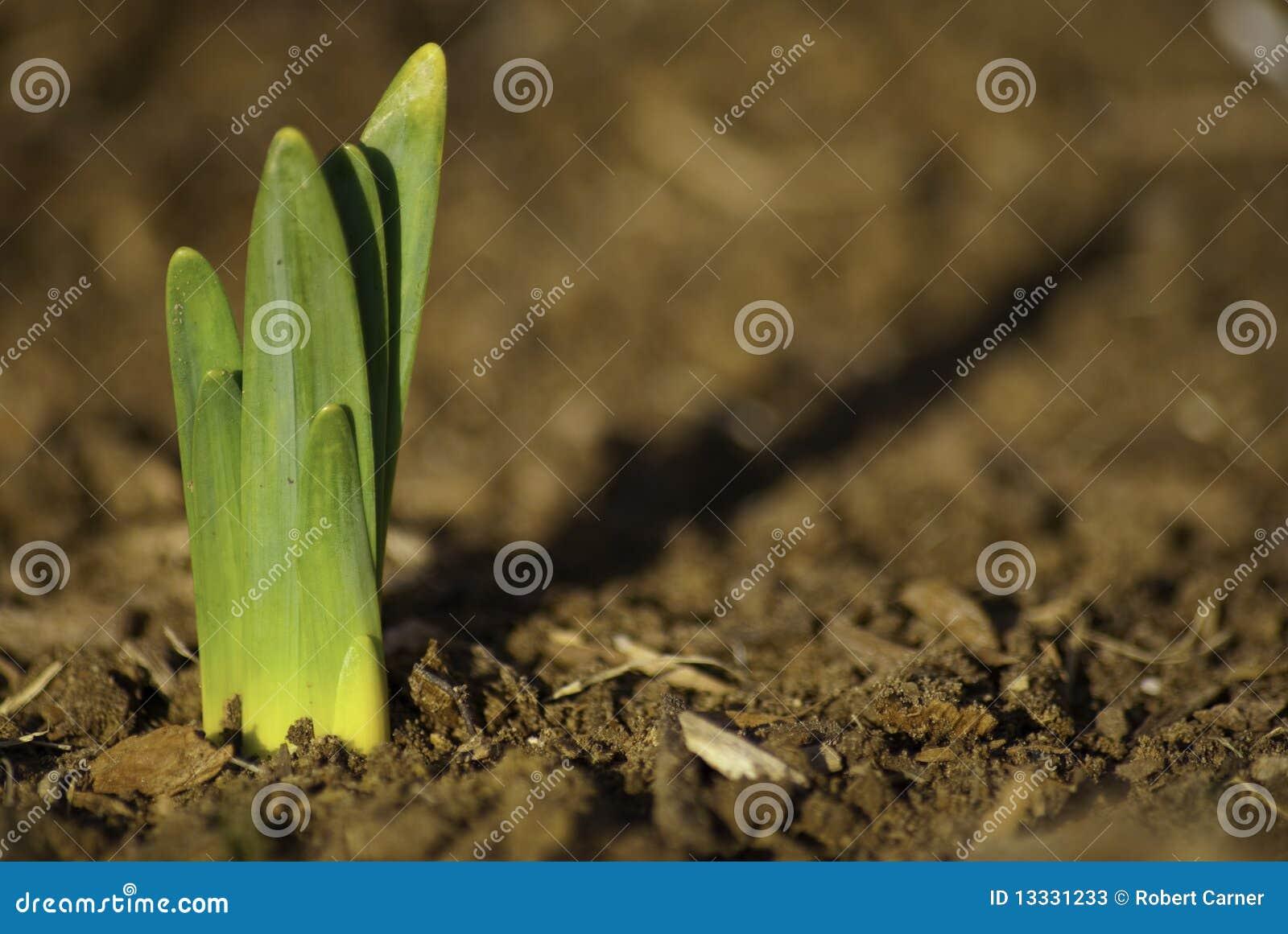 Daffodil flanca