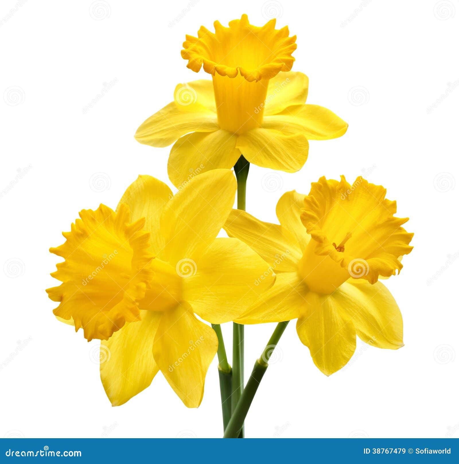 Daffodil Flower Leaf Bloom Pictogram Cartoon Vector