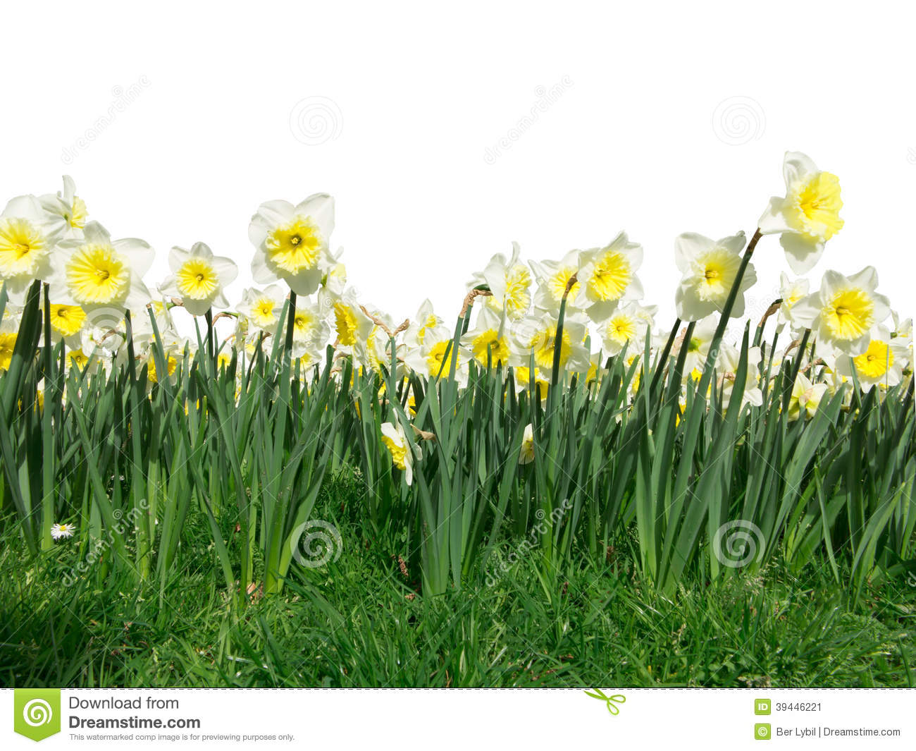 Foreground of yellow daffodil flowers blooming and swinging under a ...