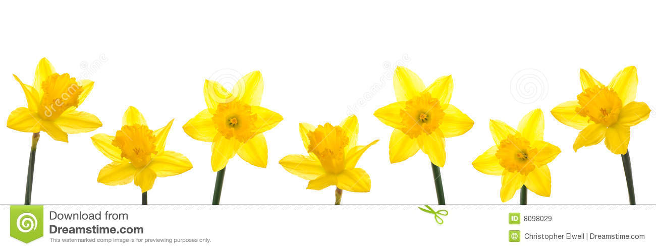 Daffodil Line Royalty Free Stock Images - Image: 8098029