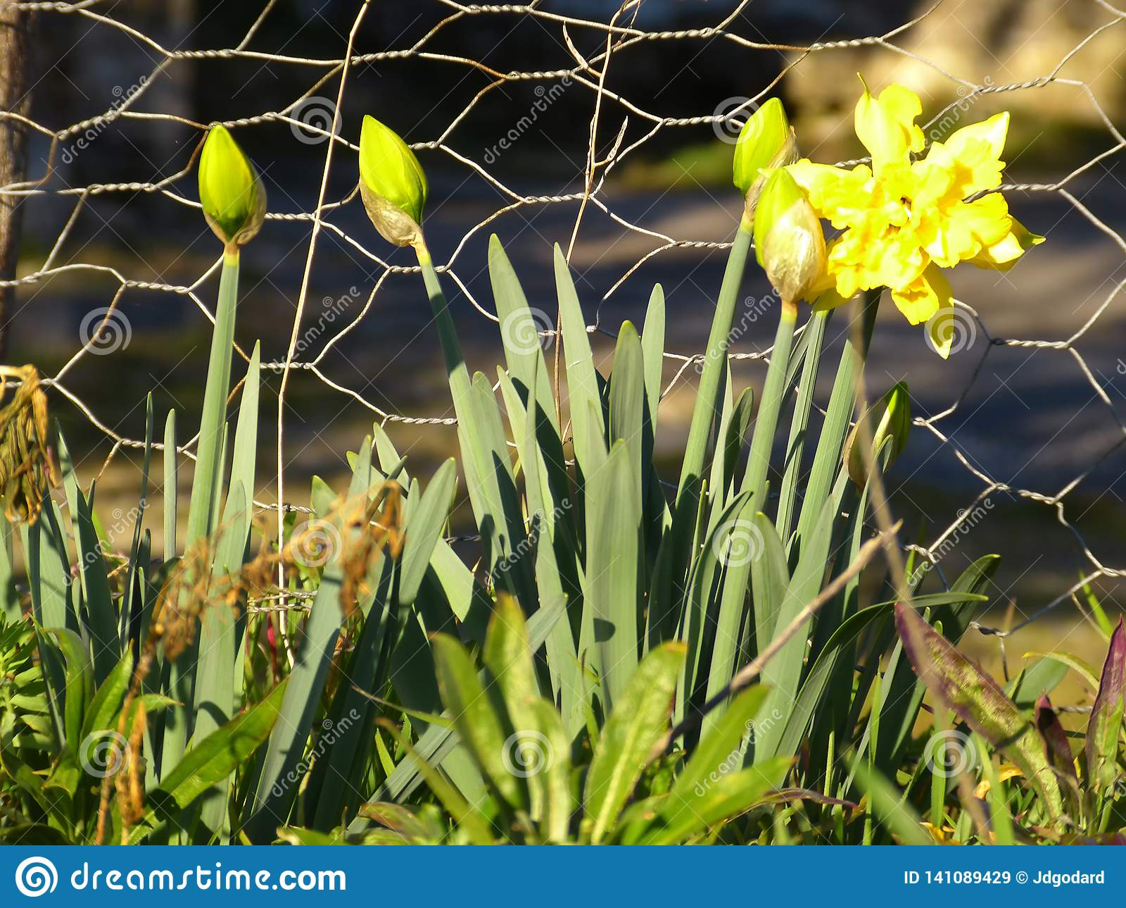 Daffodil narcissus jonquil