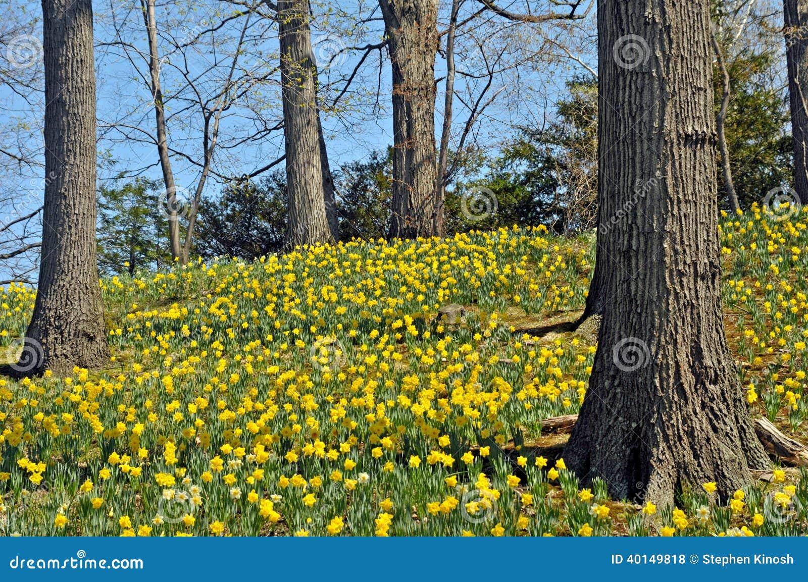 Daffodil wzgórze