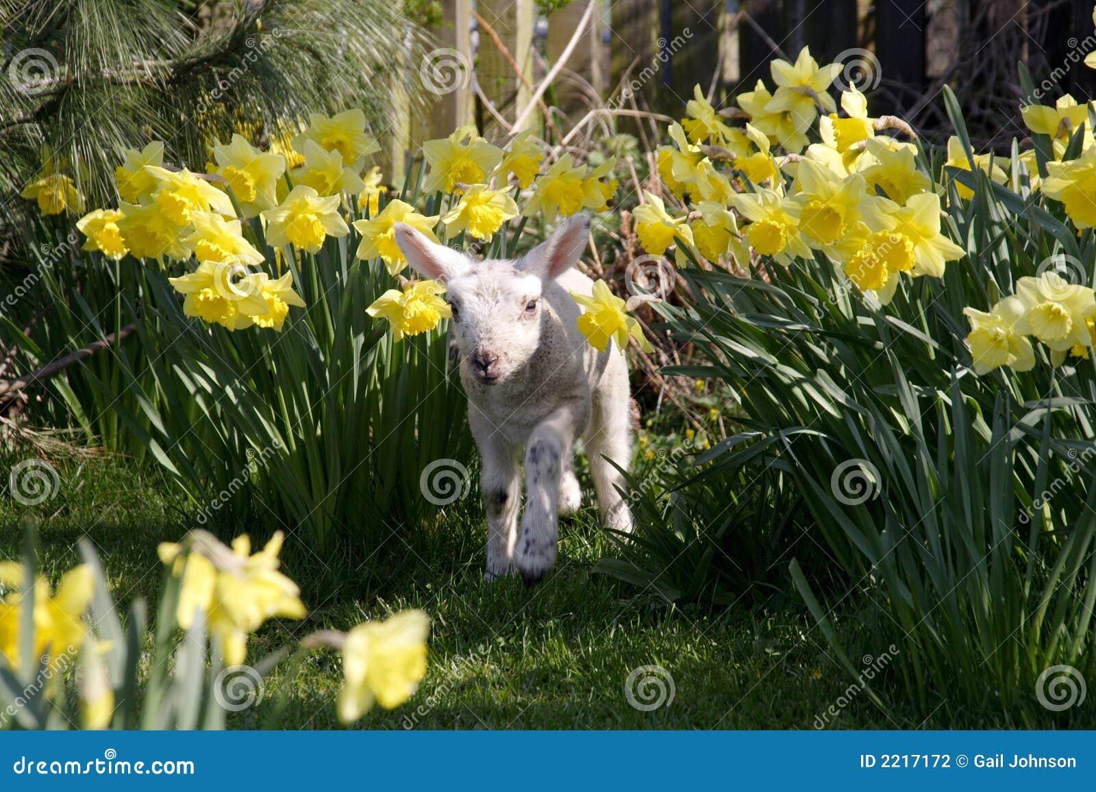 Daffodils αρνί