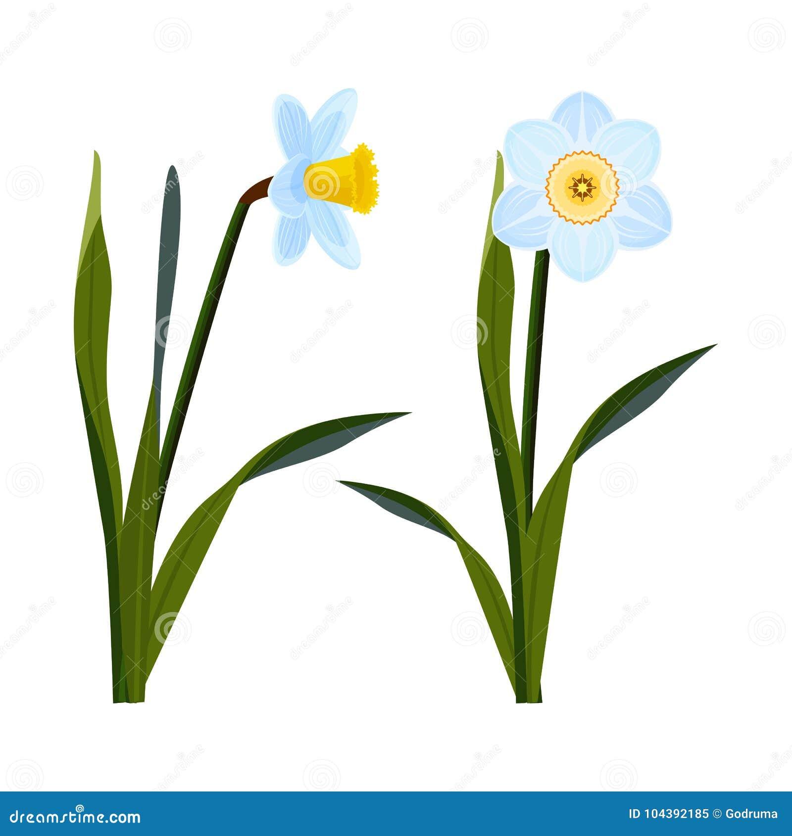 Daffodils με τους ανοικτούς μπλε οφθαλμούς και το μακροχρόνιο πράσινο μίσχο