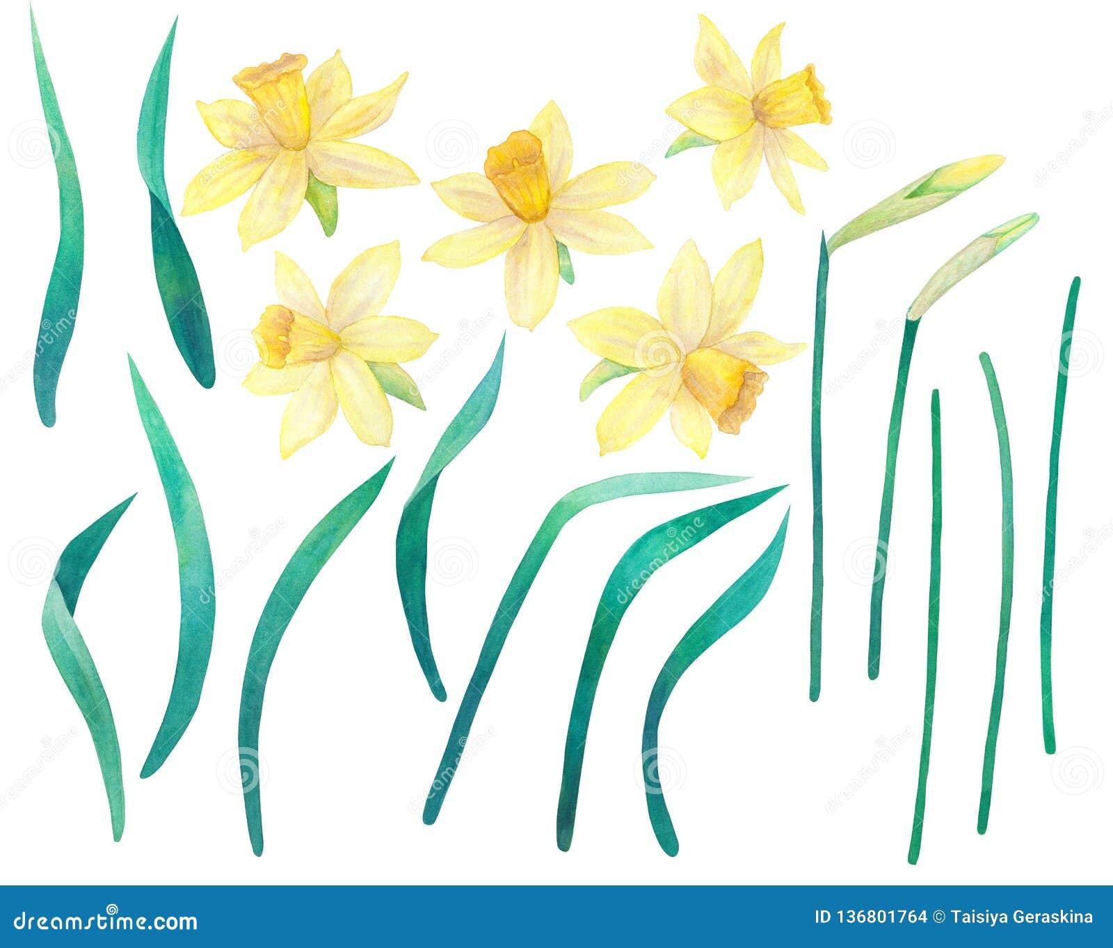 Daffodils или narcissus Желтые цветки и листья большое собрание Иллюстрация акварели нарисованная рукой Изолировано на белизне