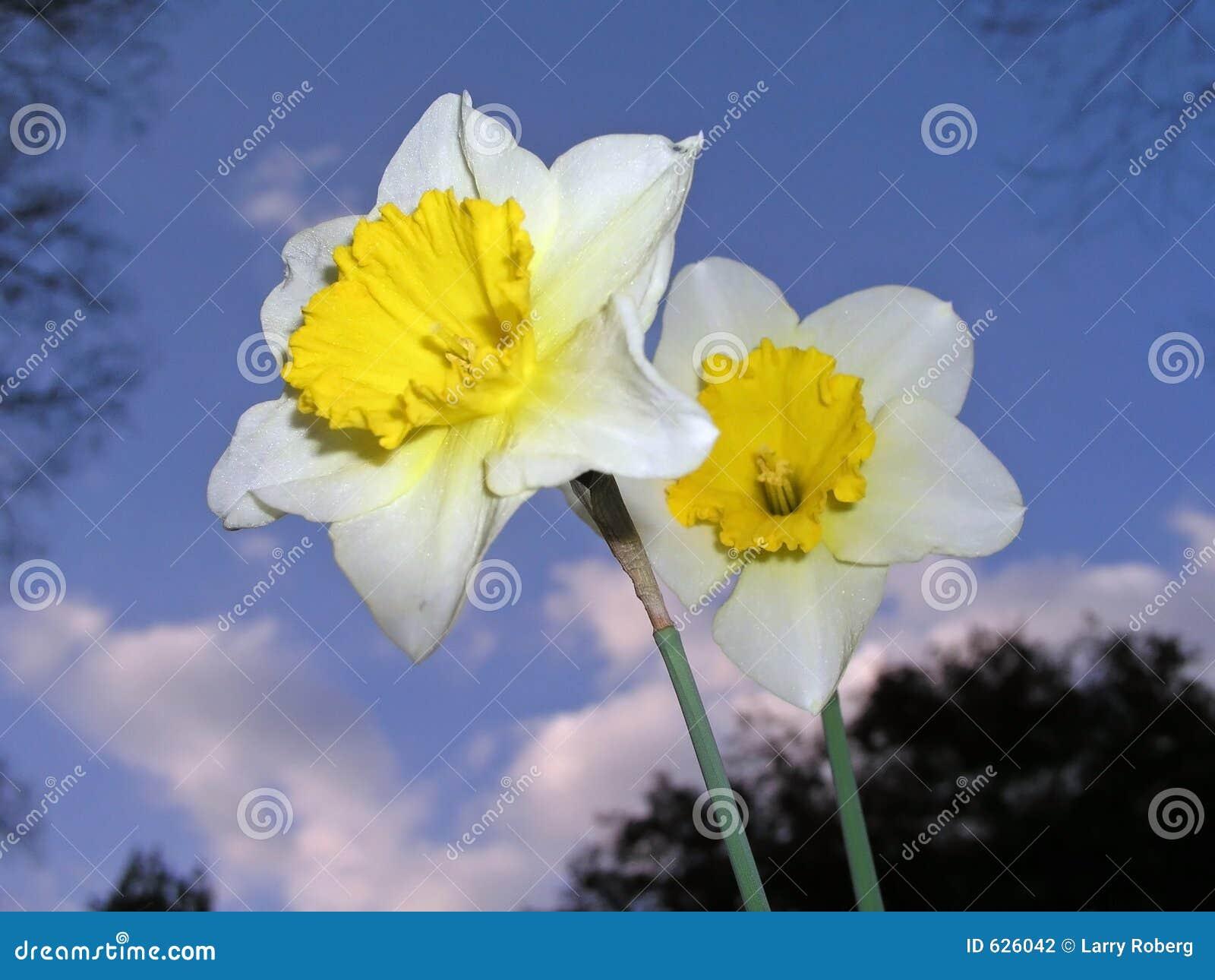 Download Daffodils стоковое фото. изображение насчитывающей кровопролитное - 626042