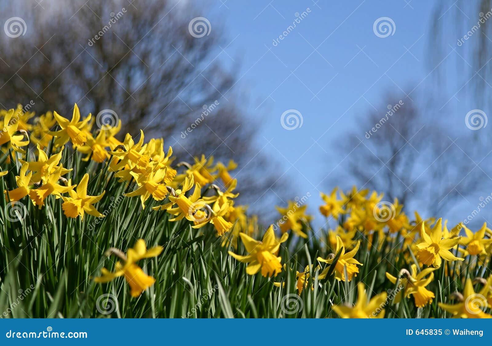 Download Daffodils стоковое изображение. изображение насчитывающей ландшафт - 645835