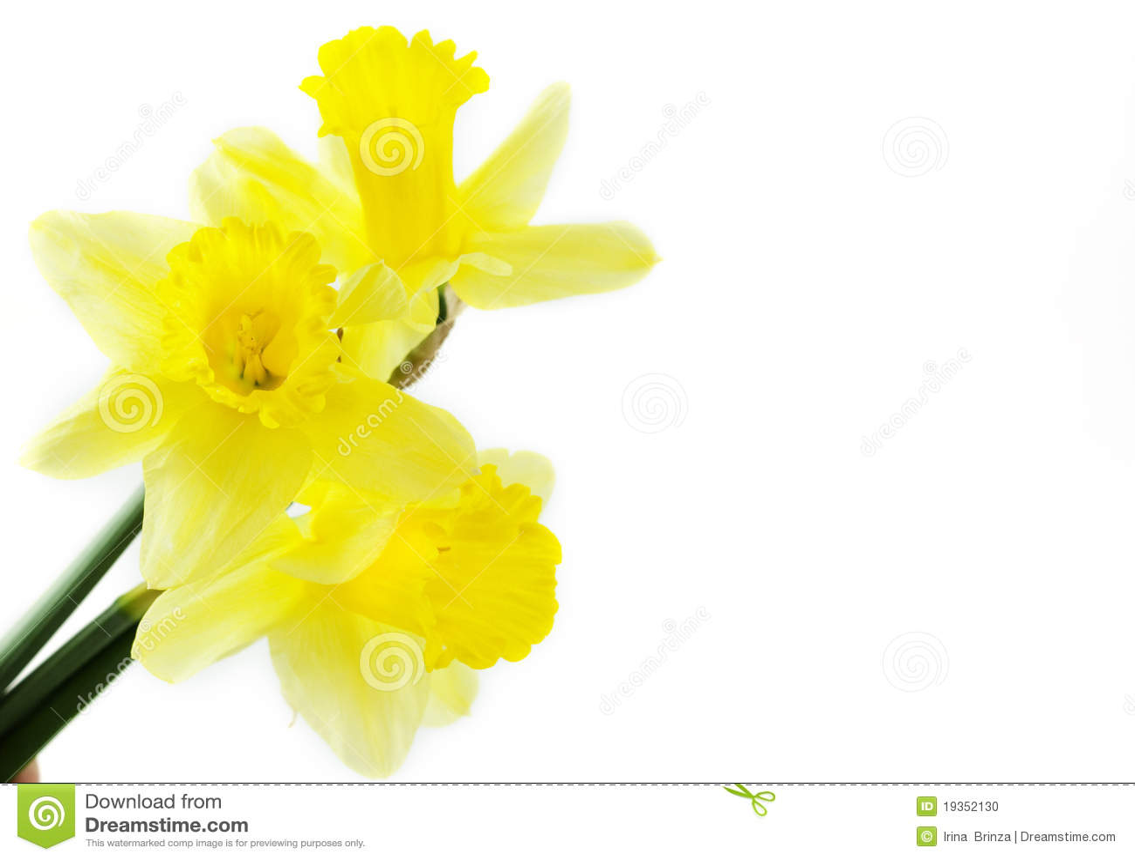 Daffodils amarelos