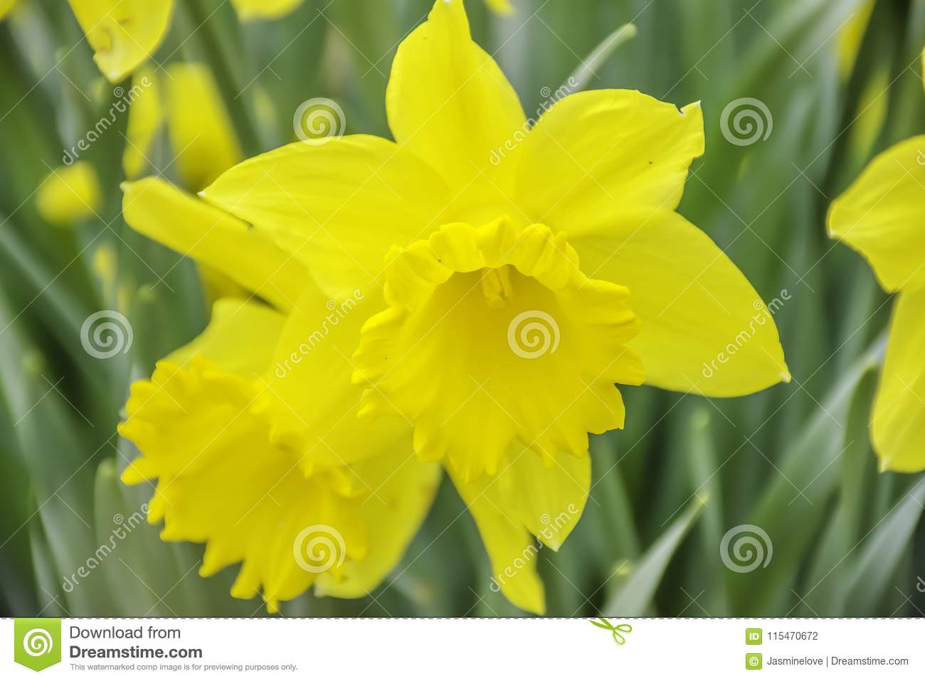 Daffodil Flower Blossom In Spring Stock Photo Image Of Wild