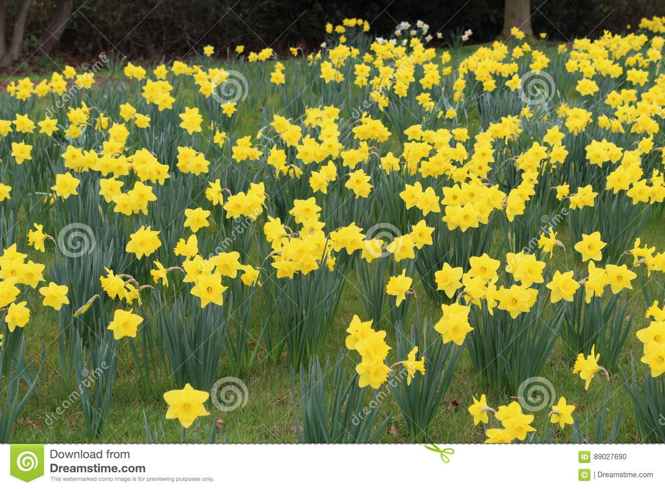 Daffodils In Flower Stock Photo Image Of Goldenyellow 89027690