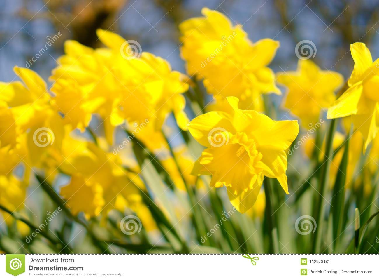 Daffodils Flowering In Spring Stock Image Image Of Trumpet