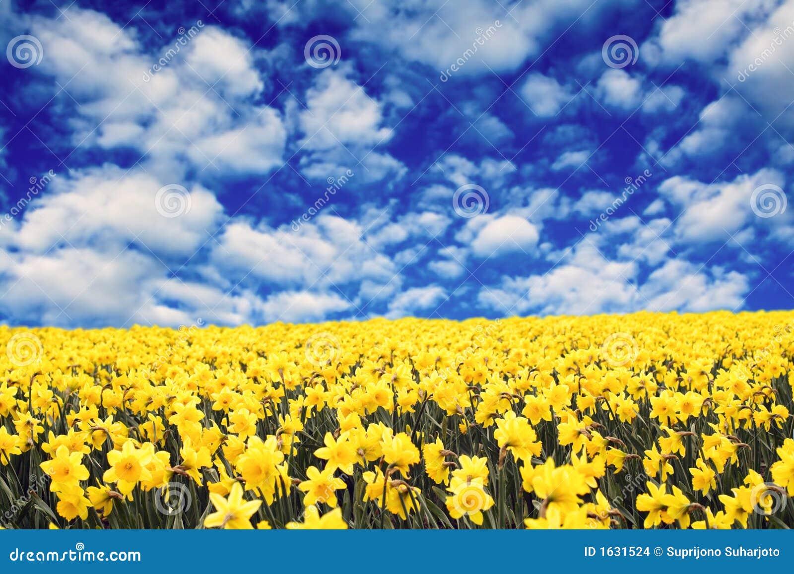 Daffodils gialli