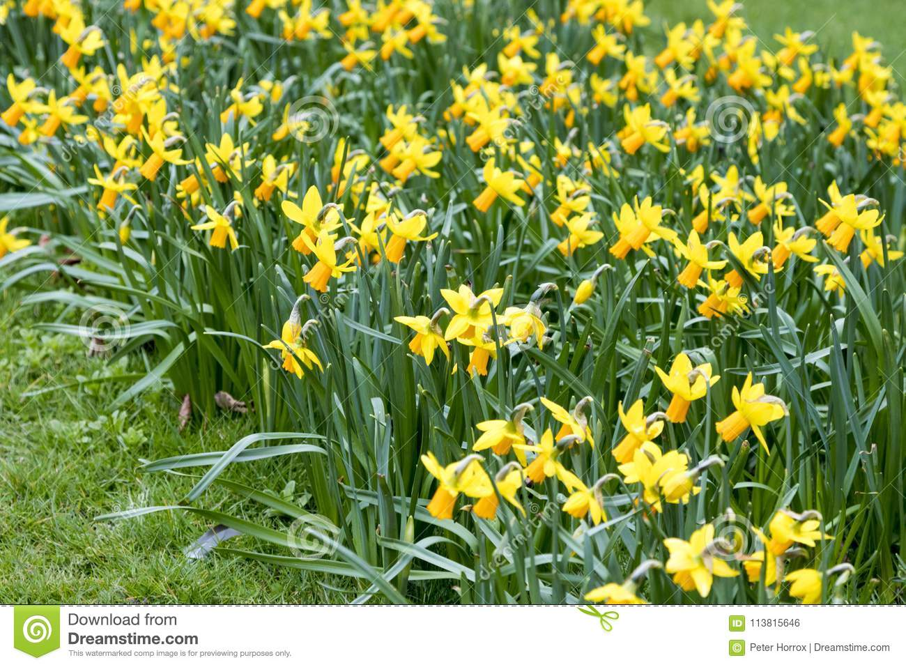how to grow daffodils outside