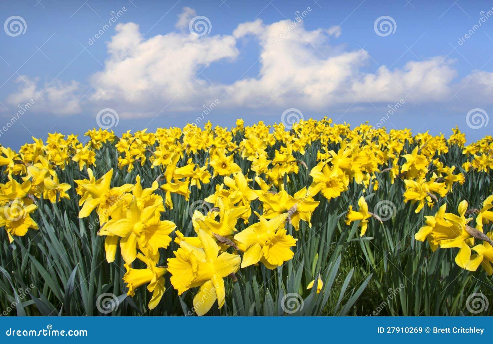 Daffodils kwiatów miłości serce