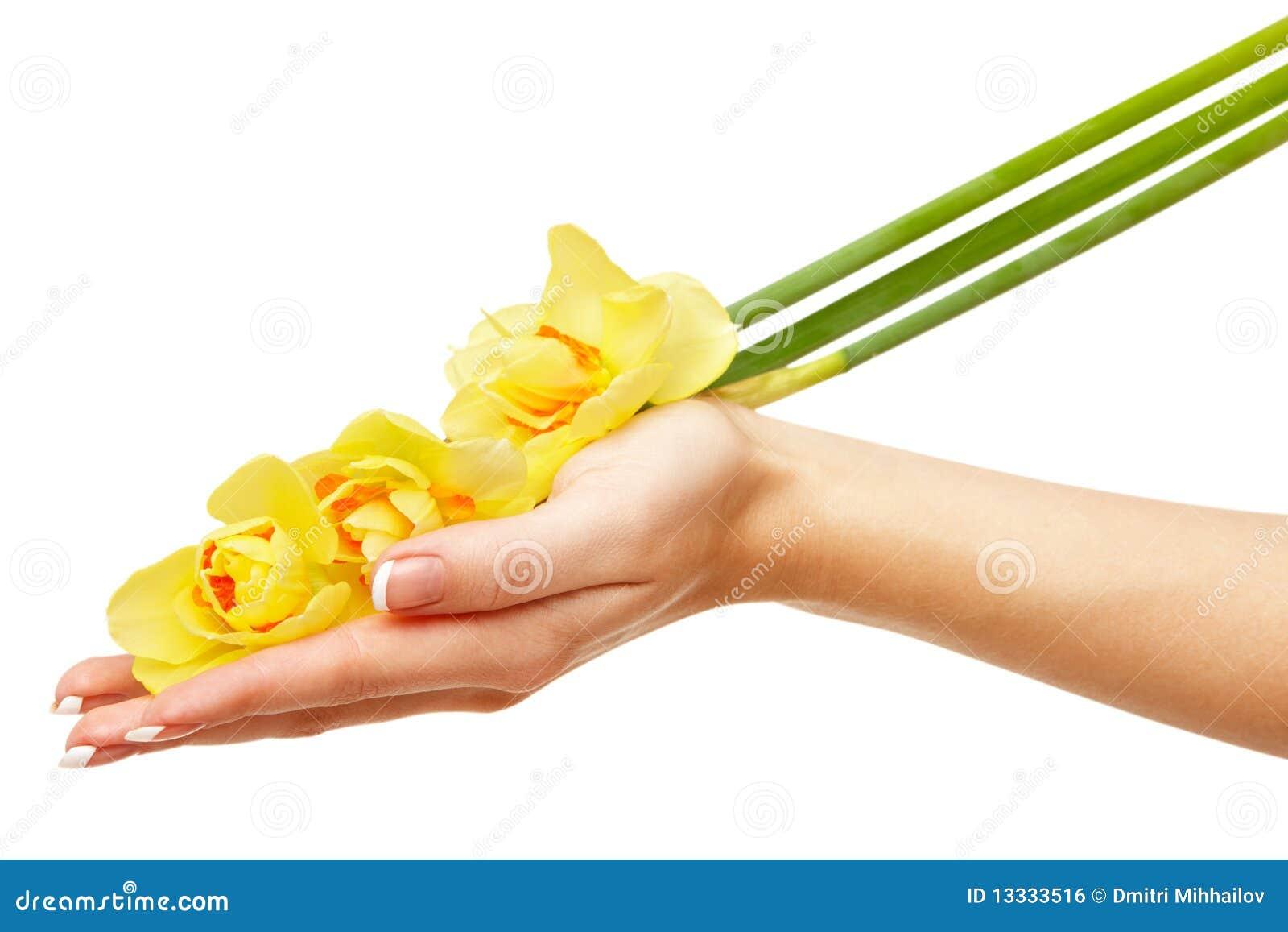 Daffodils ręka