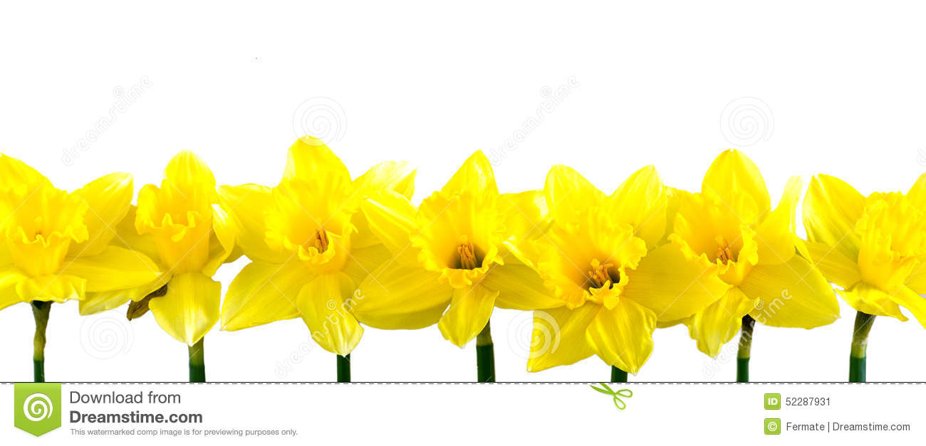 daffodils in a row on white stock photo image 52287931
