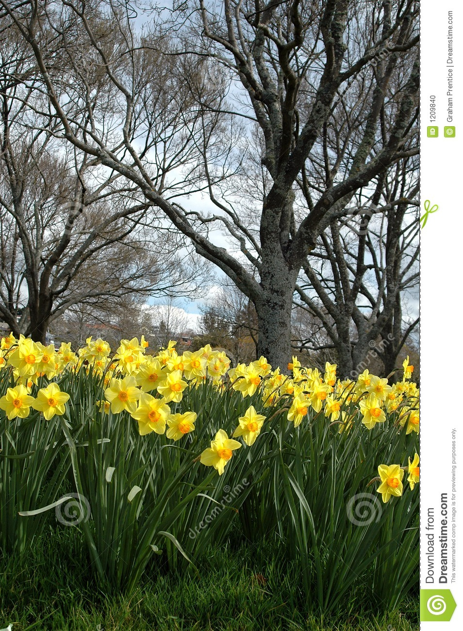 Daffodils In Spring Stock Photo - Image: 1209840
