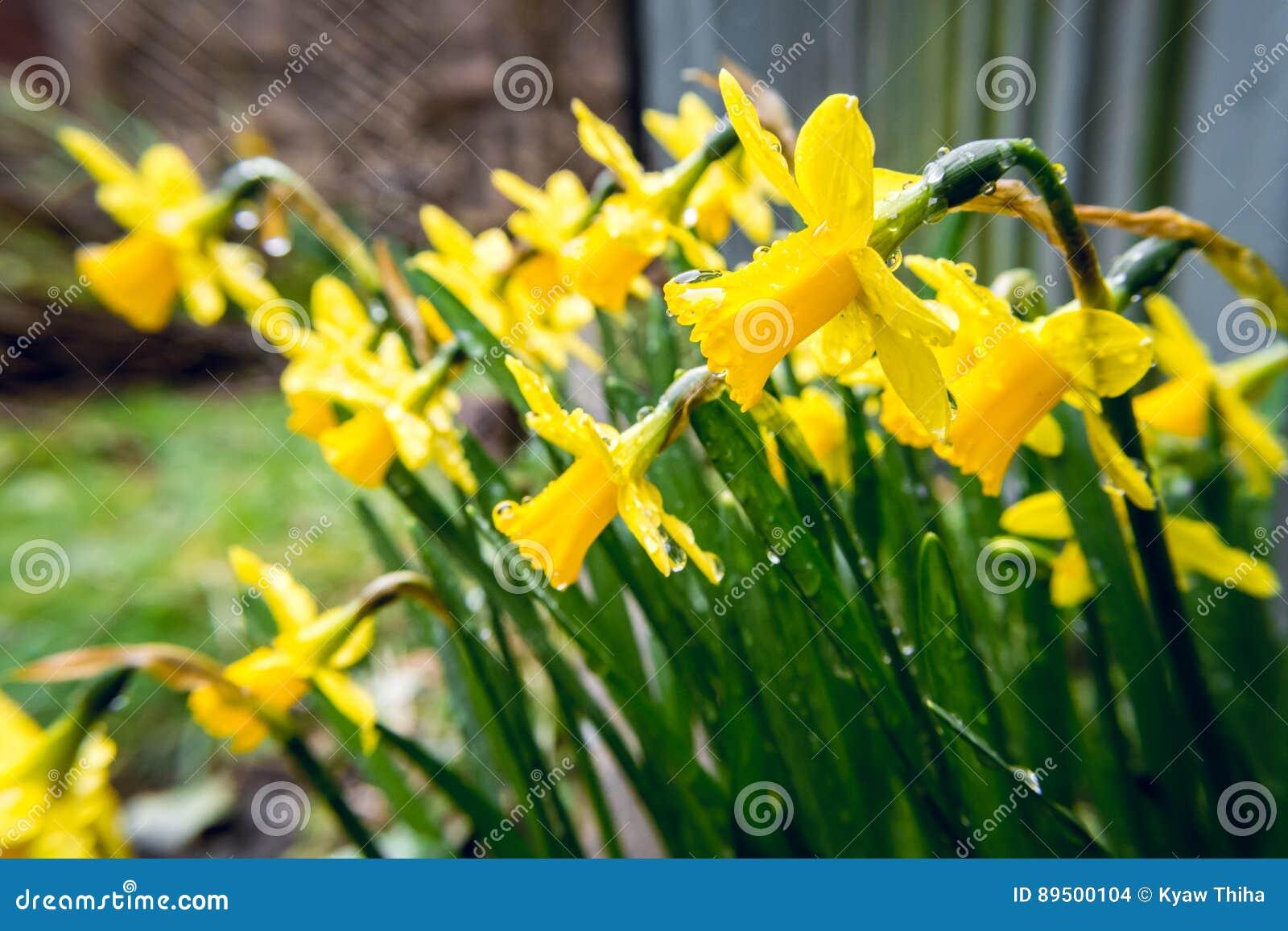 Daffodils Under The Rain In Early Spring In Backyard 3 Stock Photo