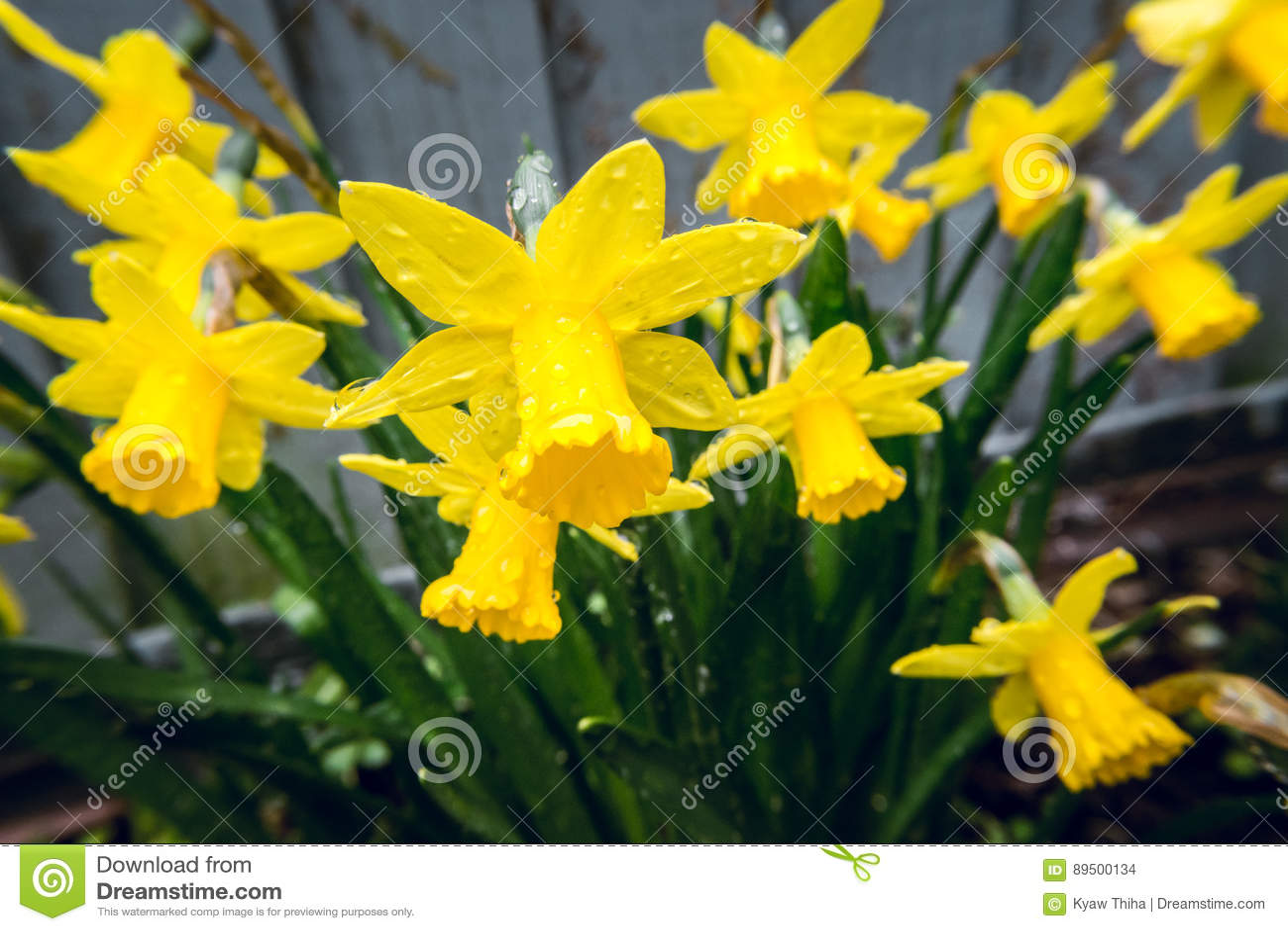 Daffodils Under The Rain In Early Spring In Backyard 4 Stock Photo