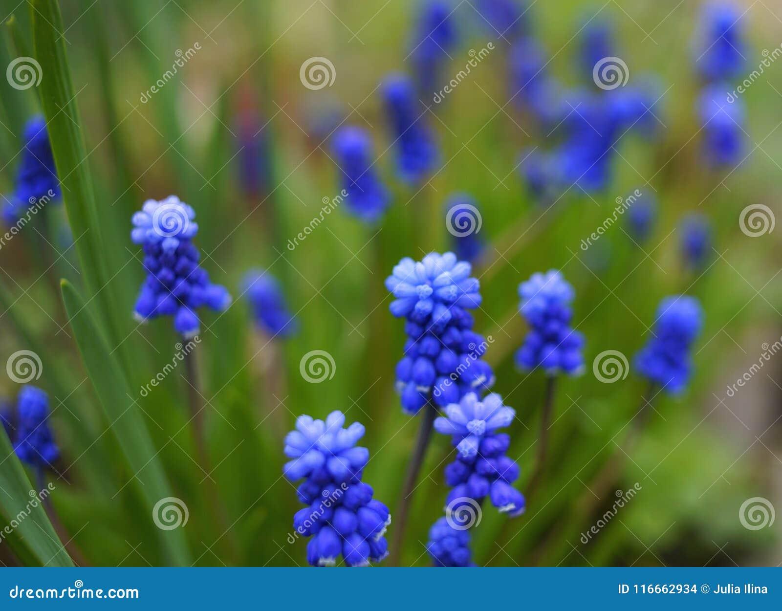 Dag för natur för närbild för makro för gräsplan för blomma för muscarihyacintblått blad texturerad utomhus trädgårds-