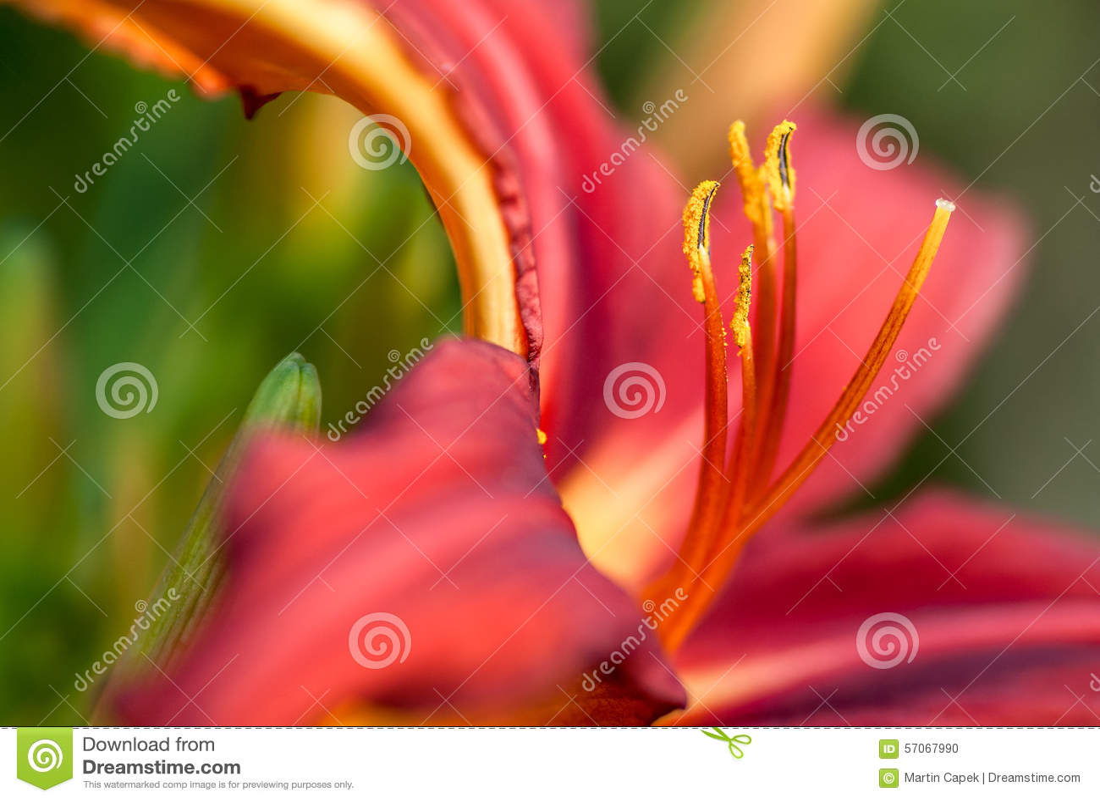 Dag Lily Flower