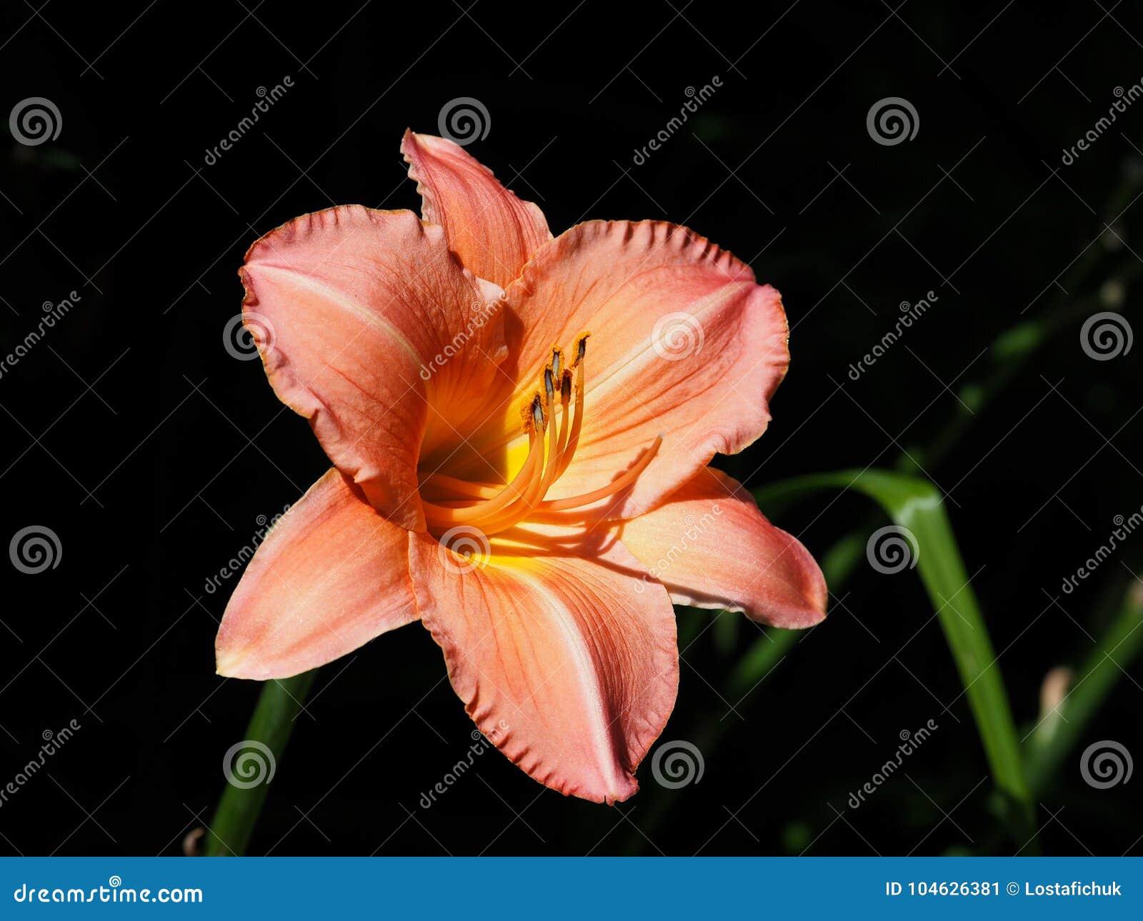 Download Dag Lily Or Hemerocallis In Bloom Stock Afbeelding - Afbeelding bestaande uit plantkunde, botanisch: 104626381
