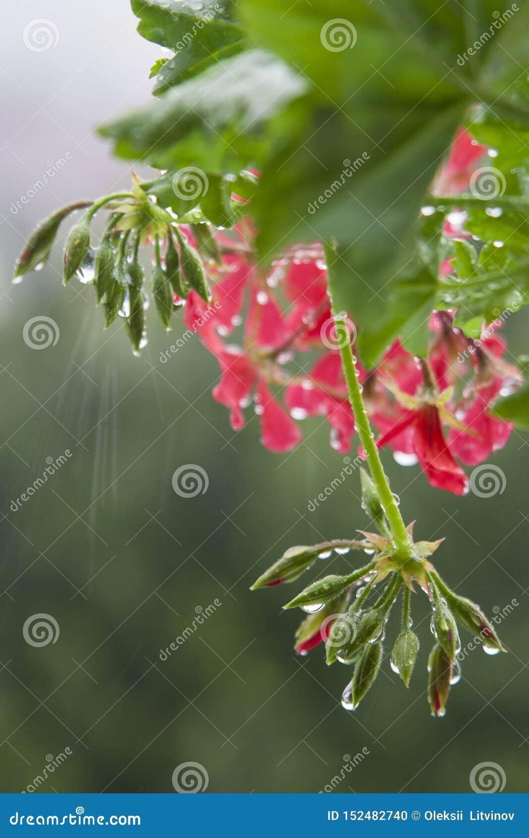 Daggdroppar på en rosa blomma och gröna knoppar