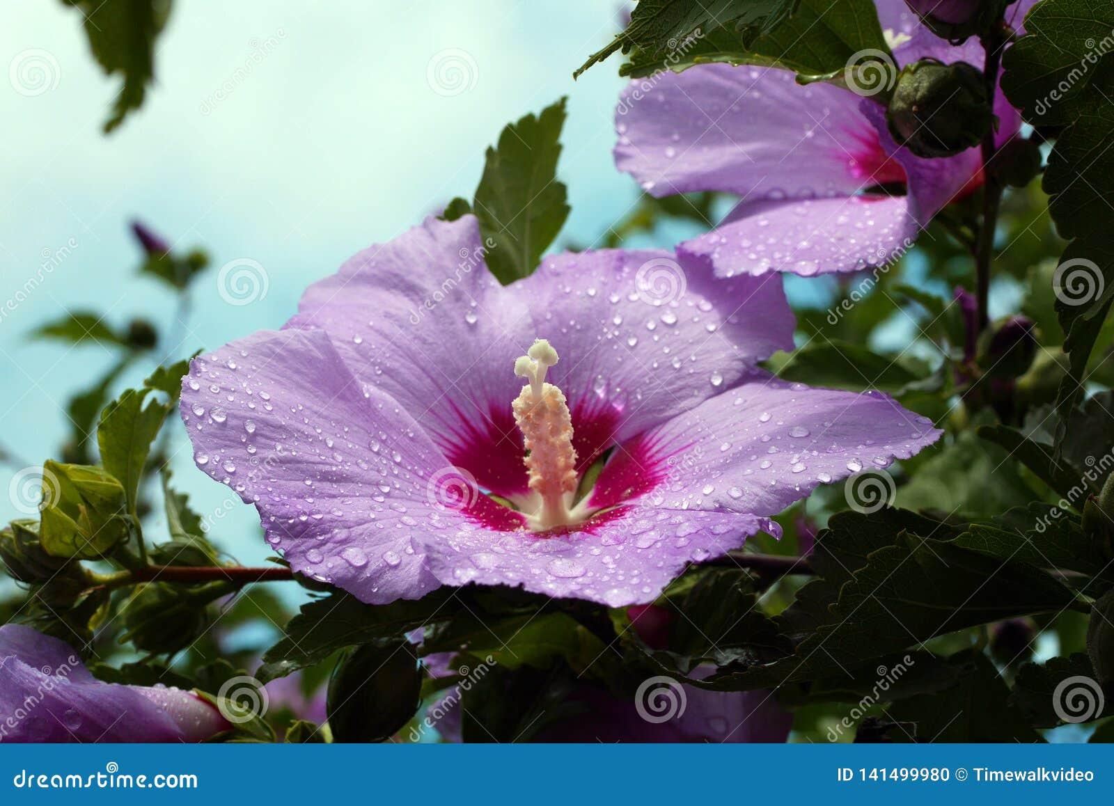 Daggsmå droppar på att bedöva den rosa och purpurfärgade blomman