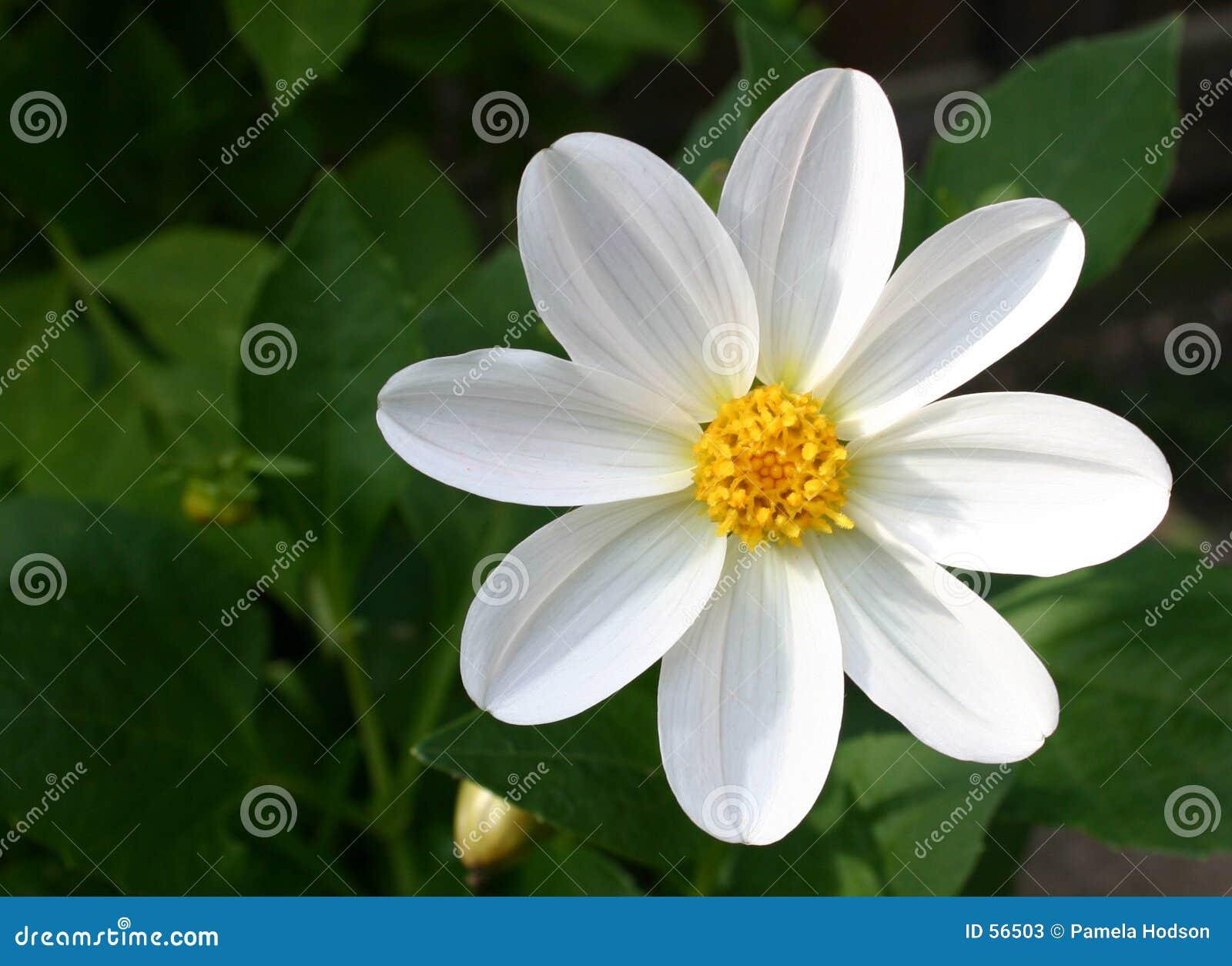Download Dahlia blanc magnifique image stock. Image du centrale, floral - 56503