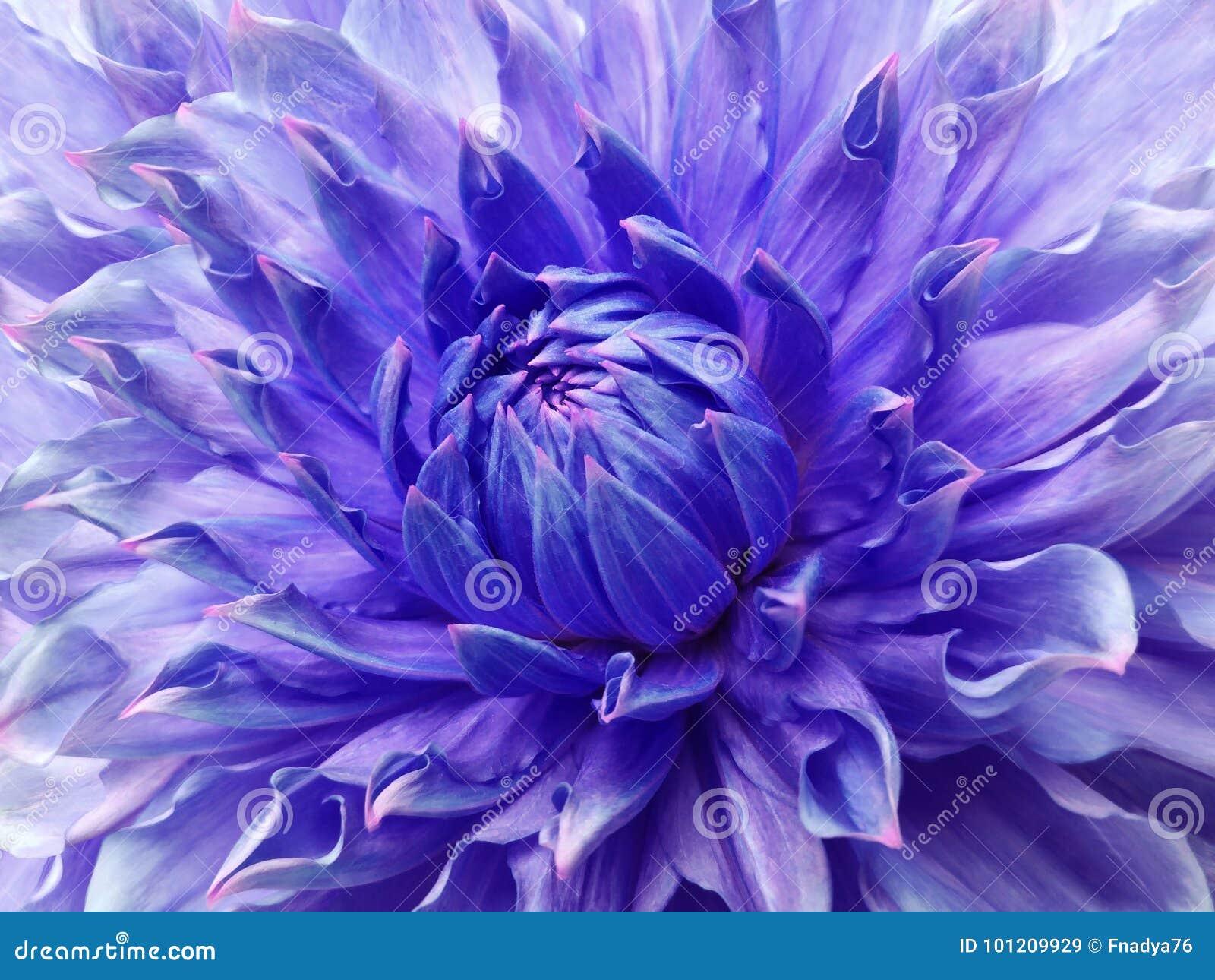 Dahlia Blue Violet Flower Macro Motley Big Flower Background From