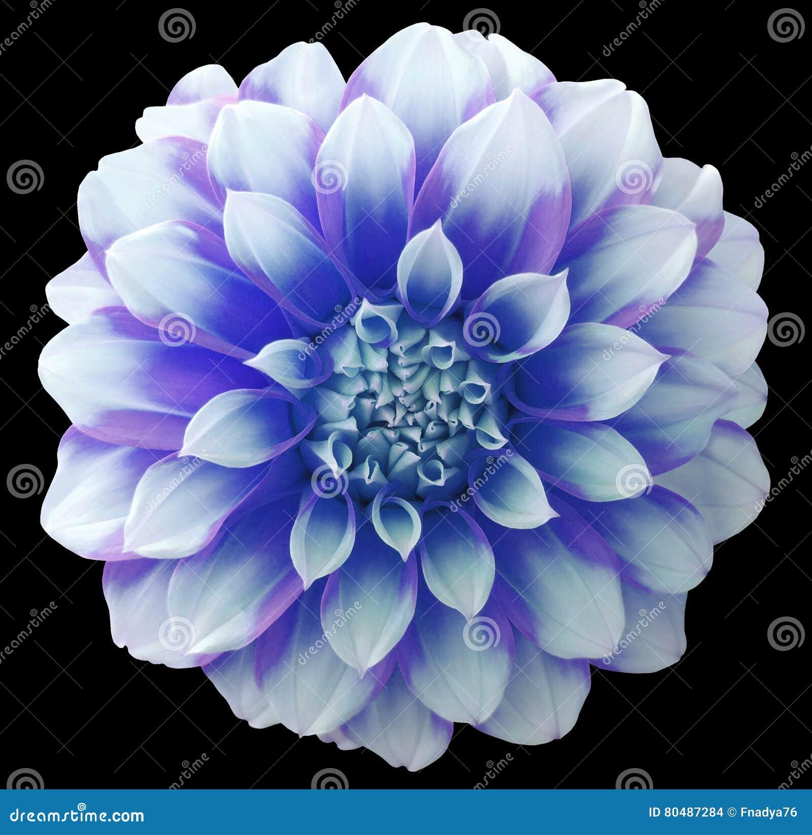 Dahlia blue white flower variegated flower black background download comp izmirmasajfo