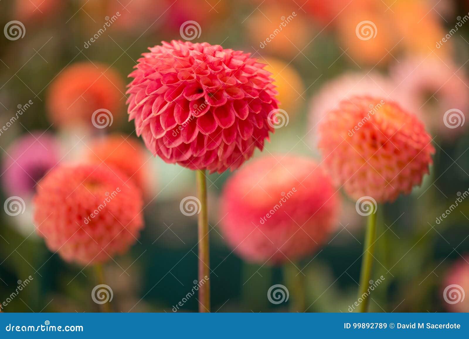 Dahlia coloré par rouge rond vibrant