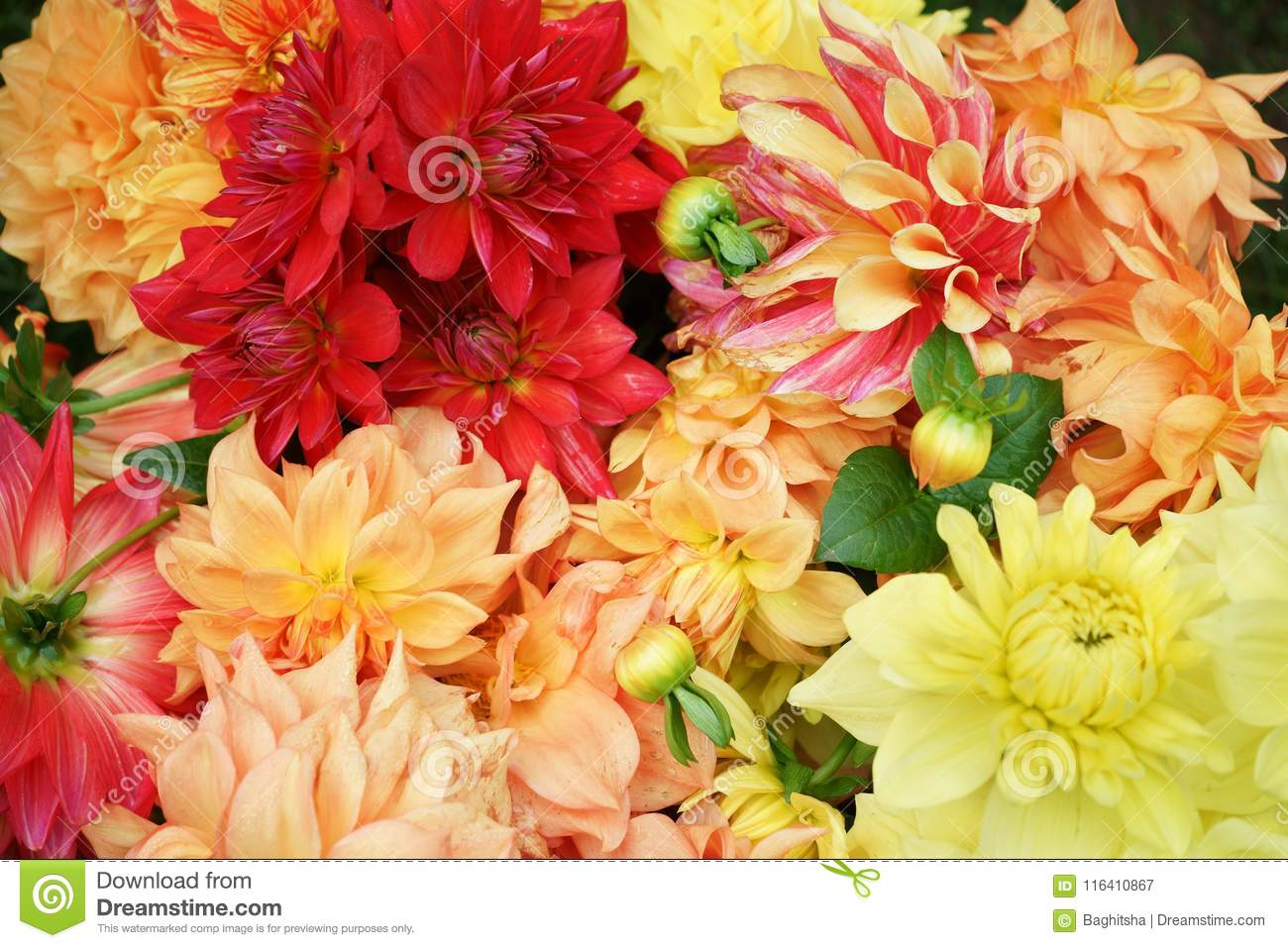 Dahlia Corollas Mixed Varieties And Colors Asteraceae Stock Image