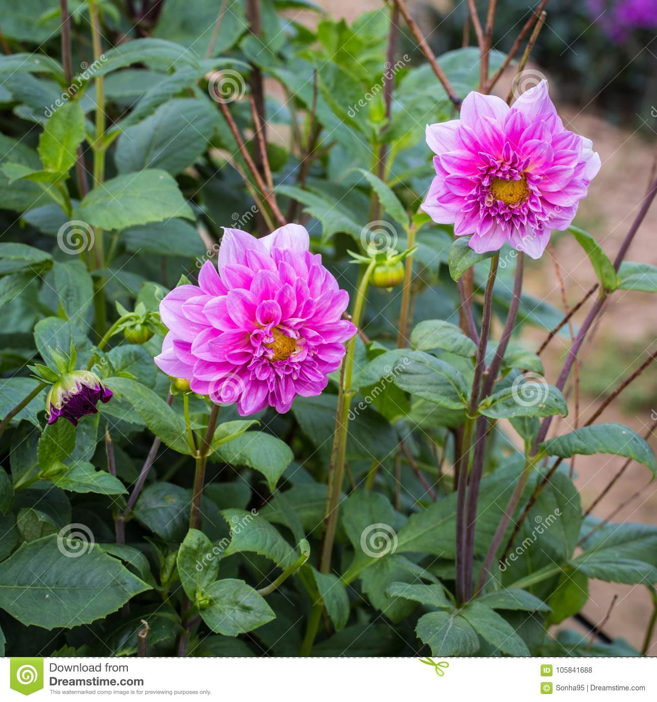 Dahlia stock photo image of colored spring rous exception dahlia is a genus of bushy tube rous herbaceous perennial plants they are brightly colored displaying most hues with the exception of blue izmirmasajfo