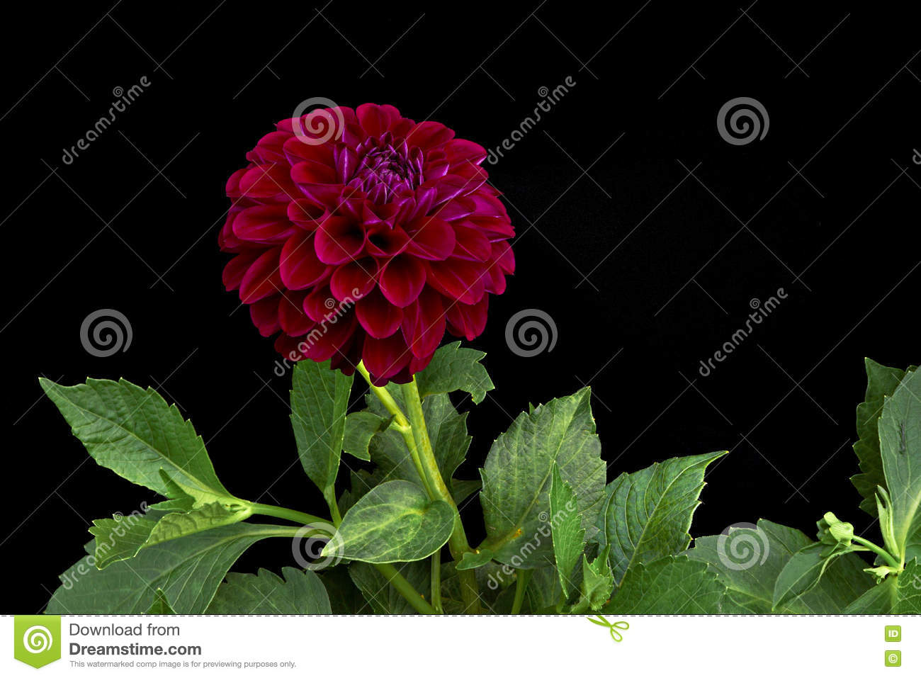 Dahlia Dark Red Color (flowers On A Black Background) Stock Photo ...