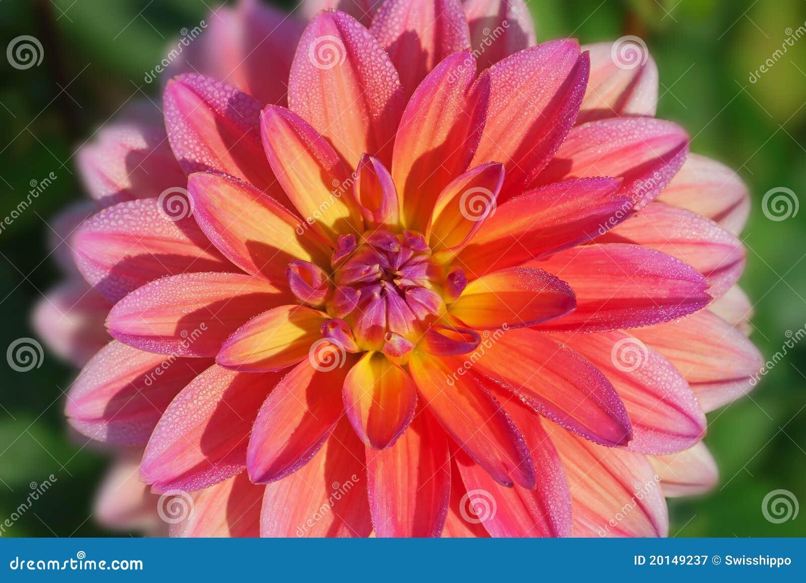 Dahlia flower stock image image of closeup peony botany 20149237 colorful dahlia flower with morning dew drops izmirmasajfo