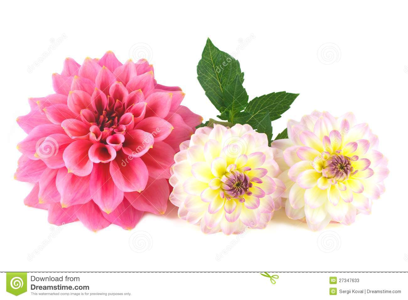 Dahlia flower arrangement stock image image of pattern 27347633 dahlia flower arrangement izmirmasajfo