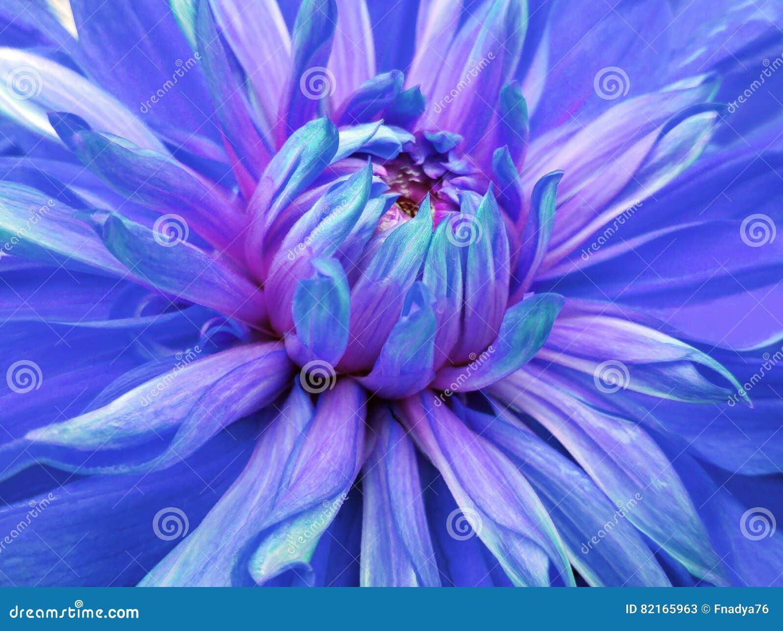 Dahlia Flower Blue Closeup Beautiful Dahlia Side View For Design