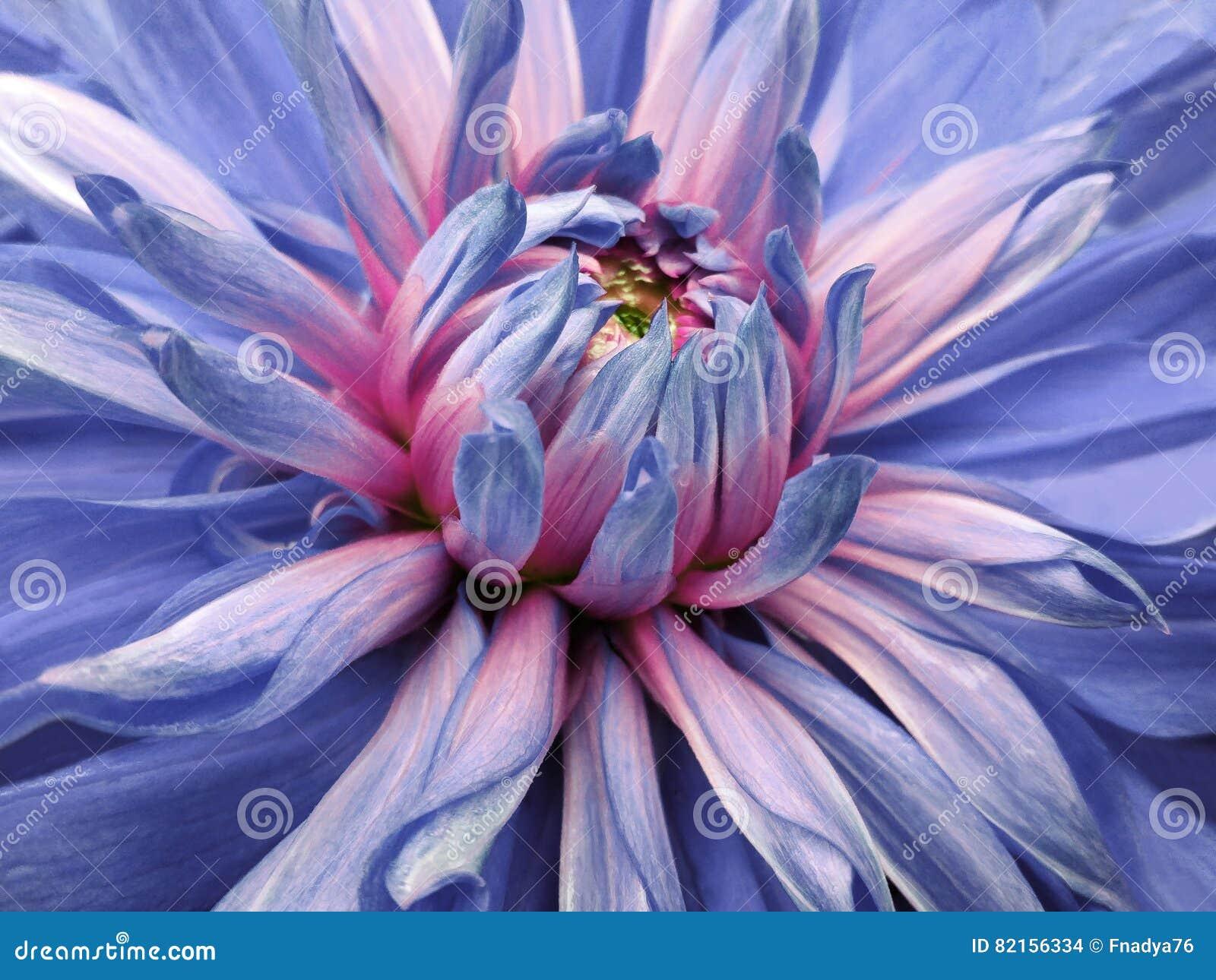 Dahlia Flower Blue Pink Closeup Beautiful Dahlia Side View For
