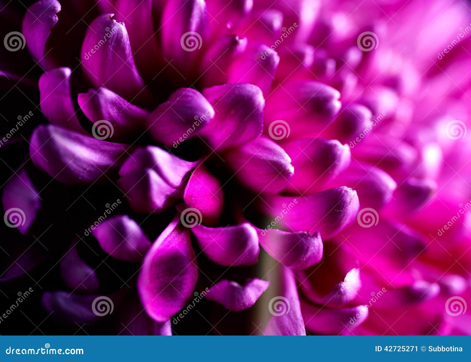 Dahlia Flower-close-up